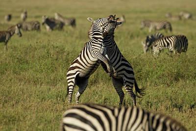 Africa, Tanzania, Serengeti National Poster by Joe and Mary Ann Mcdonald