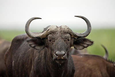 African Buffalo Or Cape Buffalo Poster by Martin Zwick