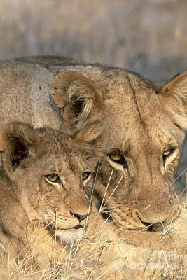 African Lion And Cub Panthera Leo Poster by Art Wolfe