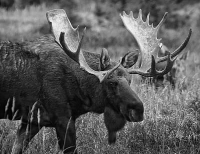 Alaskan Bull Moose  Poster by Mountain Dreams