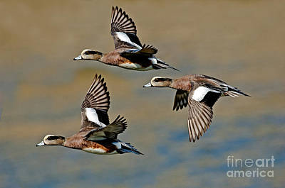 American Wigeon Drakes Poster by Anthony Mercieca