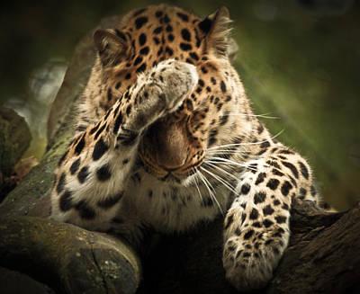 Amur Leopard Poster by Chris Boulton