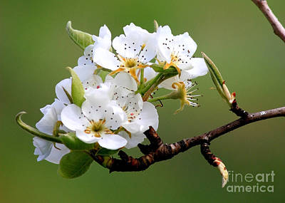 Apple Blossoms Poster by Carol Groenen