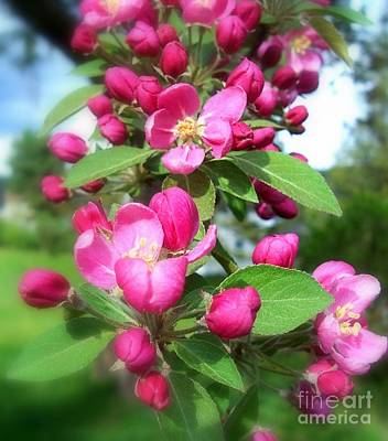 Apple Blossoms Poster by Peggy Miller
