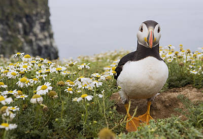 Atlantic Puffin In Breeding Plumage Poster by Sebastian Kennerknecht