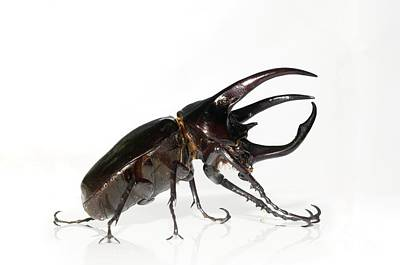 Atlas Beetle Poster by Chris Hellier