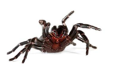Australian Funnel-web Spider Poster by Gerry Pearce