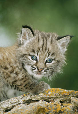 Baby Bobcat Poster by M. Watson