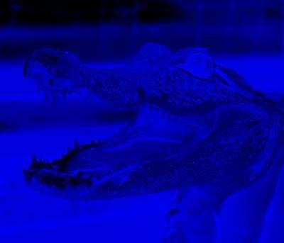 Baby Gator Neg Blue Poster by Rob Hans