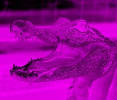 Baby Gator Neg Purple Poster by Rob Hans