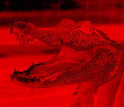 Baby Gator Neg Red Poster by Rob Hans