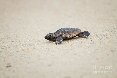 Baby Loggerhead Sea Turtle Amelia Island Florida Poster by Dawna  Moore Photography