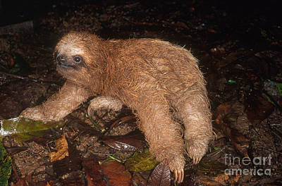 Baby Three-toed Sloth Poster by Gregory G. Dimijian, M.D.