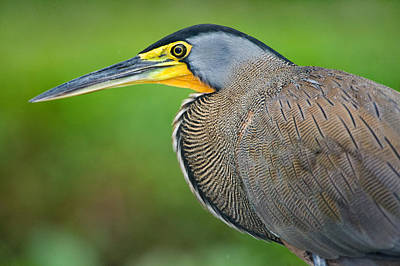 Bare-throated Tiger Heron Tigrisoma Poster by Panoramic Images