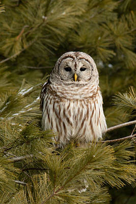Barred Owl In A Pine Tree. Poster by Michel Soucy
