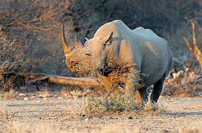 Black Rhinoceros Poster by Tony Camacho