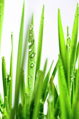 Blades Of Wheatgrass With Water Droplets Poster by Cordelia Molloy