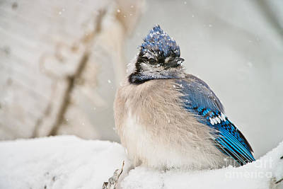 Blue Jay In Winter Poster by Michael Cummings