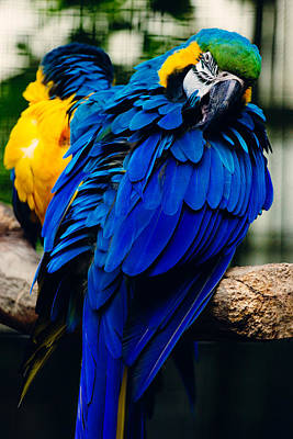 Blue Macaw Poster by Pati Photography