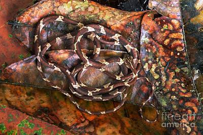Blunt-headed Tree Snake Poster by Art Wolfe