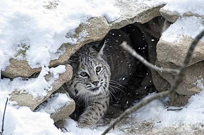 Bobcat Under Rocks In The Snow Poster by Dan Friend