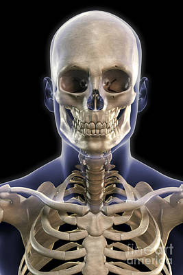 Bones Of The Head And Upper Thorax Poster by Science Picture Co