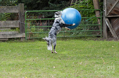Border Collie Playing Catch Poster by William H. Mullins
