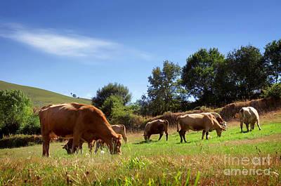 Bovine Cattle  Poster by Carlos Caetano