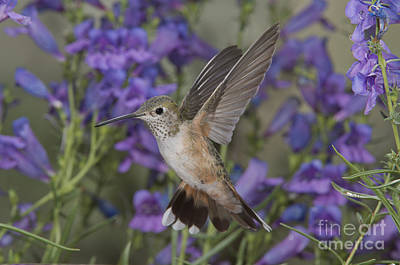 Broad-tailed Hummingbird Poster by Anthony Mercieca