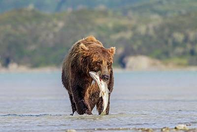 Brown Bear With Salmon Poster by John Devries
