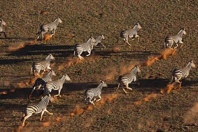 Burchells Zebras Running In Desert Poster by Theo Allofs