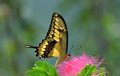 Butterfly Papilio Thoas Nealces Poster by Michael Lilley
