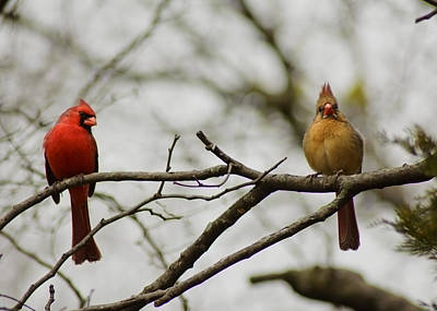 Cardinals Poster by Kimberly Danner