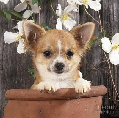 Chihuahua Dog In Flowerpot Poster by John Daniels