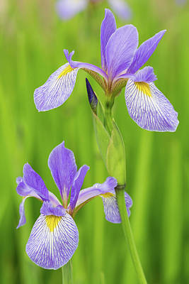 Close-up Of Blue Flag Iris Iris Poster by Panoramic Images