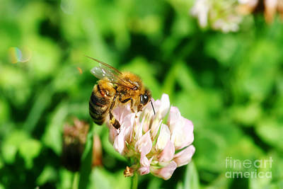 Clover Bee Poster by Jorgo Photography - Wall Art Gallery