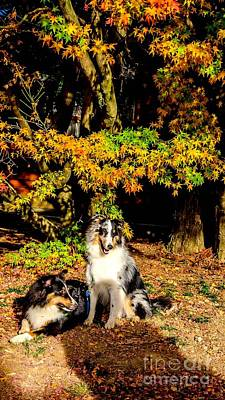 Collie Dogs In Autumn Sun Poster by Jyeh Wang