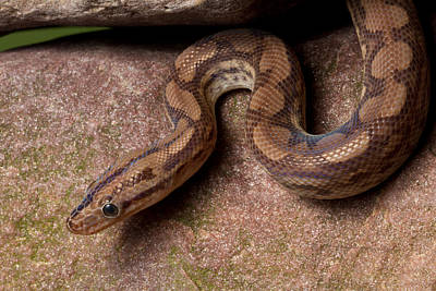 Poster featuring the photograph Colombian Rainbow Boa Epicrates Maurus by David Kenny