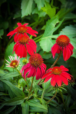 Coneflowers Echinacea Red Painted  Poster by Rich Franco
