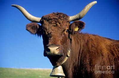 Cow Salers Poster by Bernard Jaubert