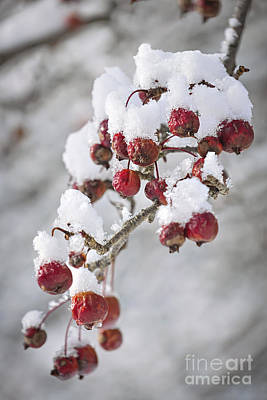 Crab Apples On Snowy Branch Poster by Elena Elisseeva