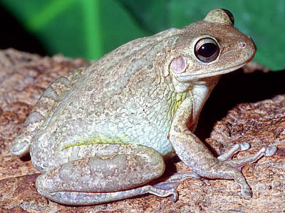 Cuban Tree Frog Osteopilus Poster by Millard H. Sharp