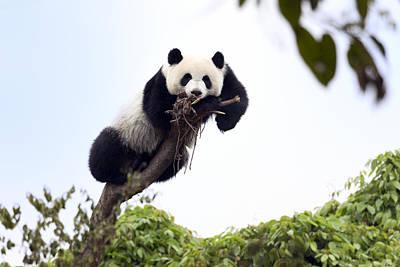 Cute Young Panda Poster by King Wu