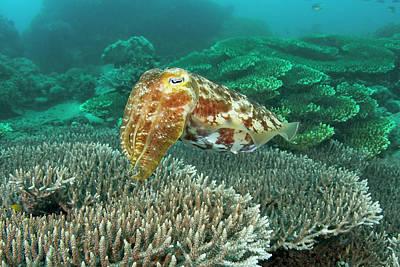 Cuttlefish (sepiida Poster by Jaynes Gallery