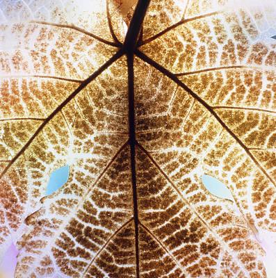 Decomposition Of Leaf Of A Grape Vine Poster by Dr. Jeremy Burgess