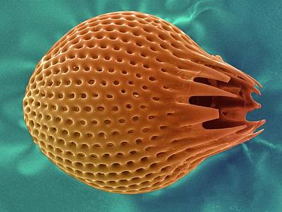 Diatom Poster by Ami Images