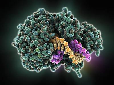 Dna Helicase Molecule Poster by Science Photo Library