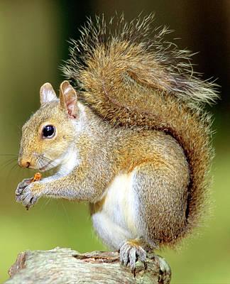 Eastern Gray Squirrel Poster by Millard H Sharp