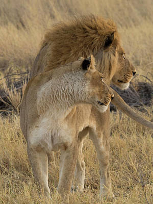 Female And A Male Lions Panthera Leo Poster by Panoramic Images