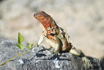 Female Lava Lizard Poster by William H. Mullins